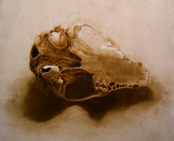 Study of Raccoon Skull with Perforated Tympanic Bulla