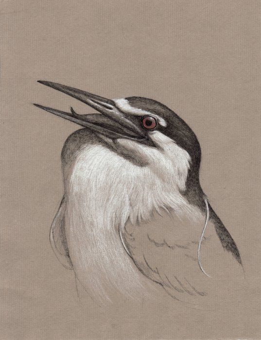 Night Heron Study